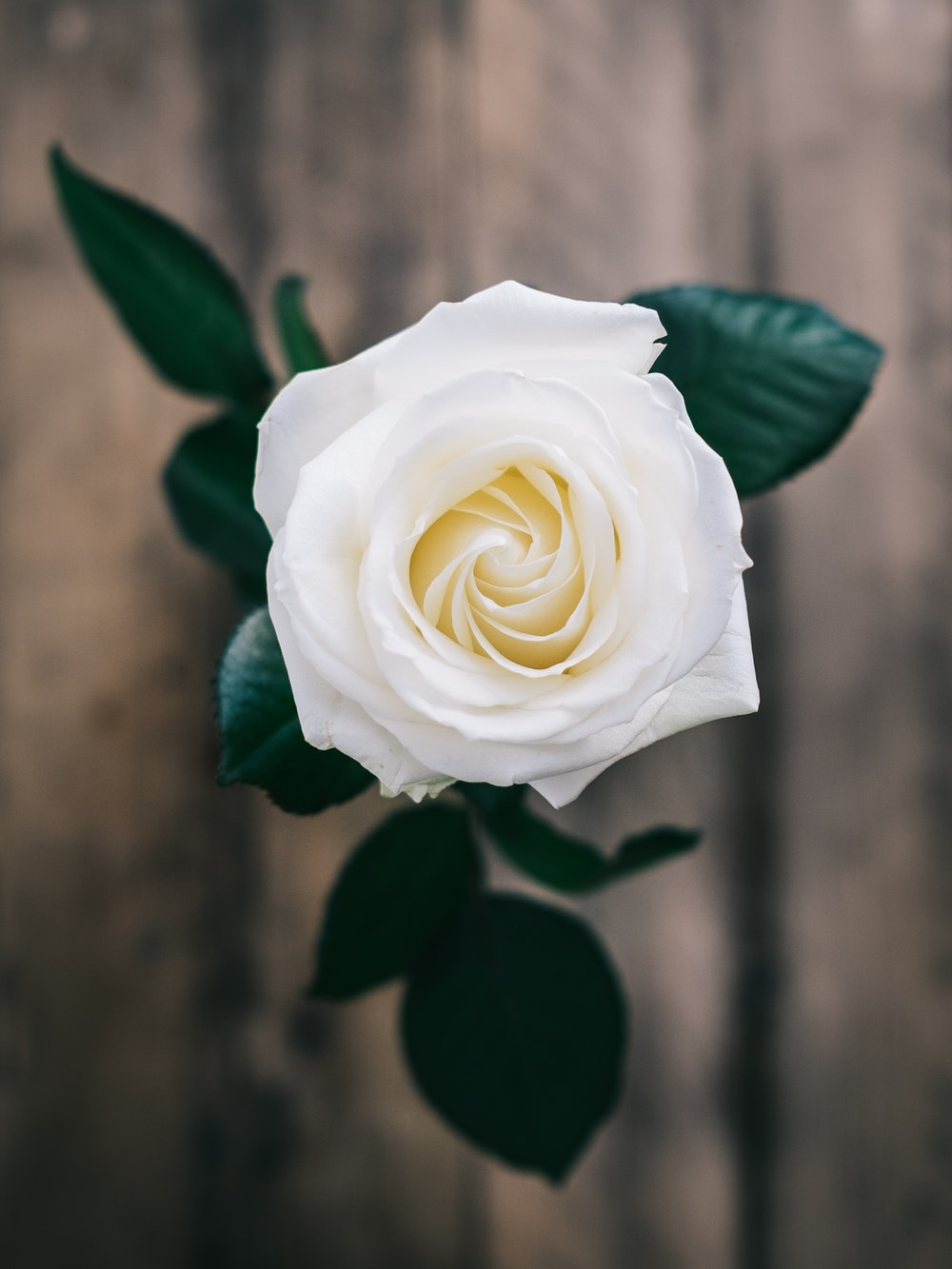 An image of a white rose